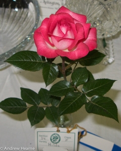 'Hilde' Miniature Queen of Show shown by Andrew Hearne at the 2009 Arlington Rose Foundation Rose Show.  Photo by Andrew Hearne